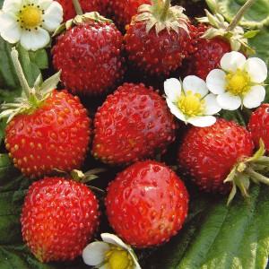 catalogue_strawberry_Альпийская_безусая