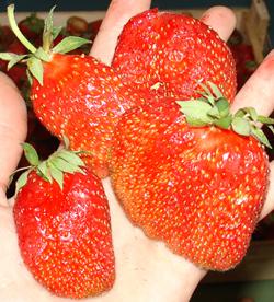 catalogue_strawberry_html_9713712d