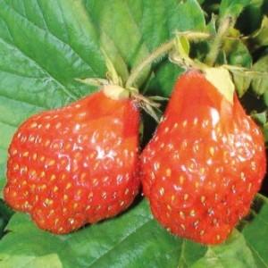 catalogue_strawberry_html_ef90c67c