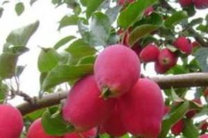 яблоня кузнецовская