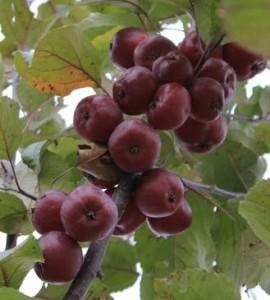 яблоня шафран саянский плоды