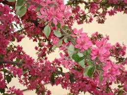 яблоня шафран саянский цветы