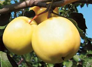 яблоня янтарка алтайская