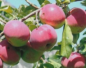 Алтайское юбилейное яблоня