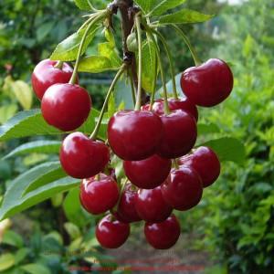 вишня урожайная