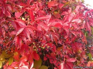 виноград девичий крас лист