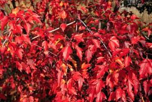 клен гиннала крас лист