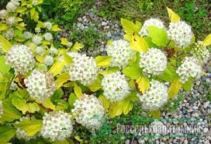 пузыреплодник дортс голд цвет